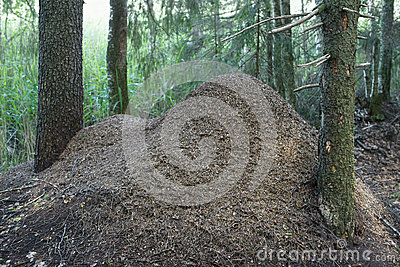 Anthill of red forest ants