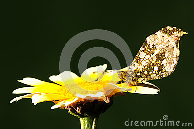 Anthocharis scolymus, butterfly on flower