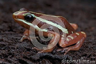Anthony s poison arrow frog