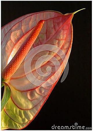 Free Anthurium Stock Photo - 39840
