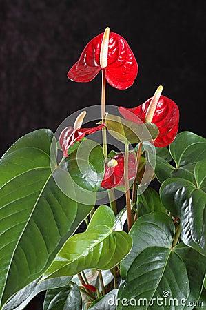 Free Anthurium Andreanum Stock Image - 37879941