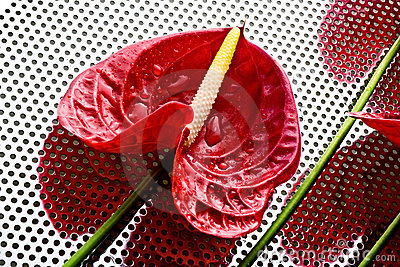 Anthurium andreanum on the metal perforated panel