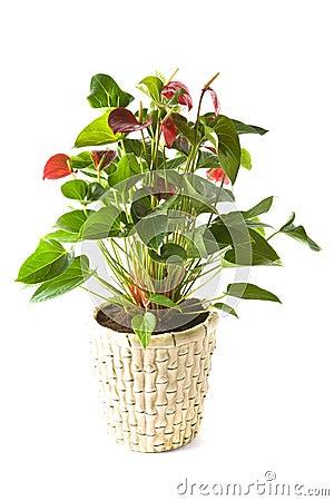 Free Anthurium Andreanum Red Queen Stock Photo - 3615830