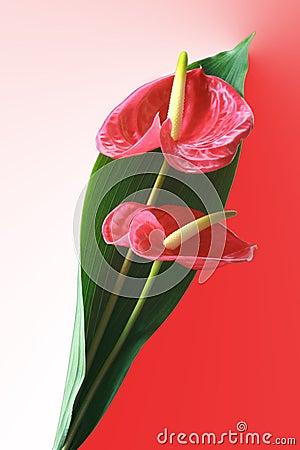 Free Anthurium Bouquet Royalty Free Stock Photo - 4769915