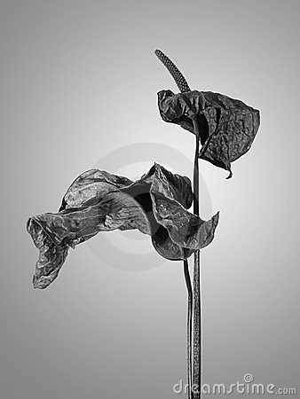 Anthurium, dried and wrinkled
