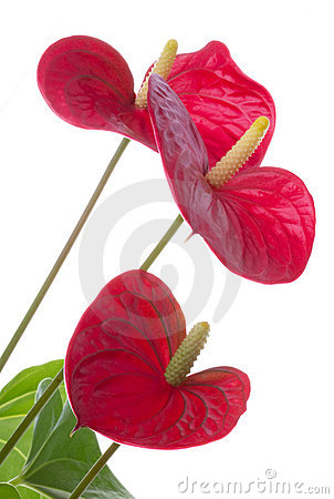 Free Anthurium Flower Royalty Free Stock Photo - 17146005