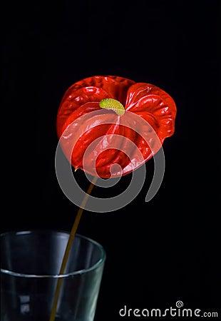 Free Anthurium Flower Stock Images - 7389564