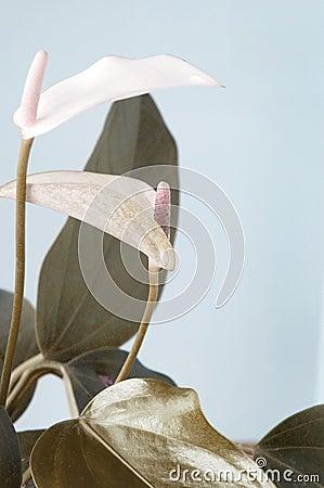Free Anthurium Pastel Shade Royalty Free Stock Photos - 54594868