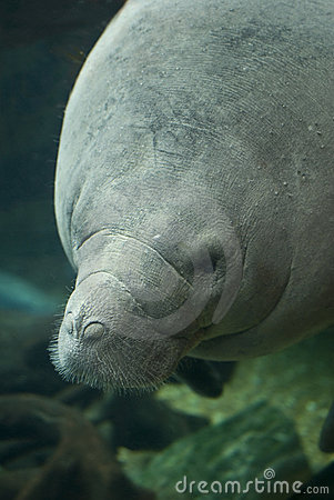 Free Antillean Manatee Royalty Free Stock Images - 20836279