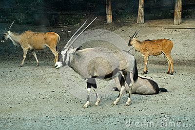 Antilope in Zoo