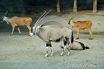 Antilope in Zoo