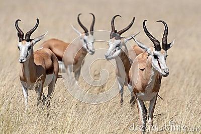 Antilopi saltante