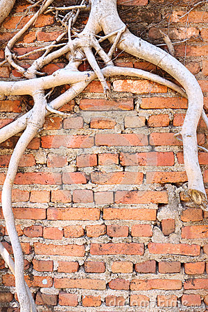 Antique brick wall with dry root