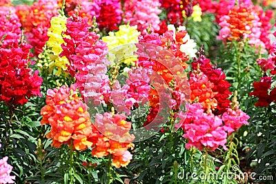 Antirrhinum flowers