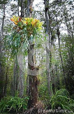 Antler fern in cypress