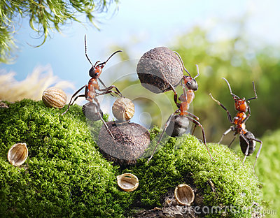 Ants crack nuts with stone, hands off!
