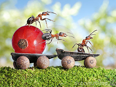 Ants deliver red currant with trailer, teamwork