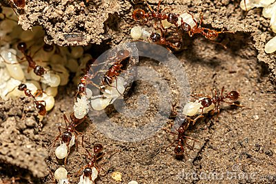 Ants with eggs