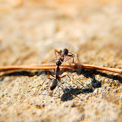 Free Ants Fighting Stock Photo - 3141220