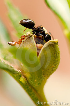 Free Ants Getting Seeds Stock Photography - 23197802