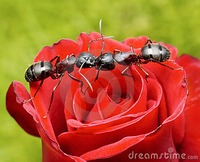 Ants kiss on rose