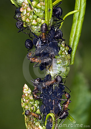 Ants and lice
