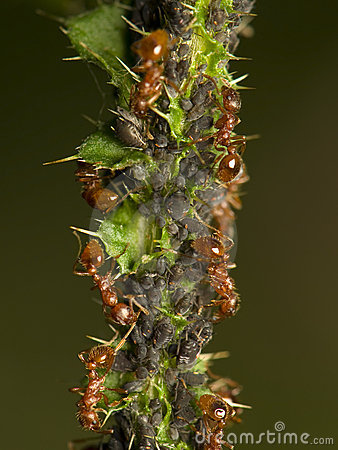 Free Ants Milking Aphids Royalty Free Stock Photos - 20810078