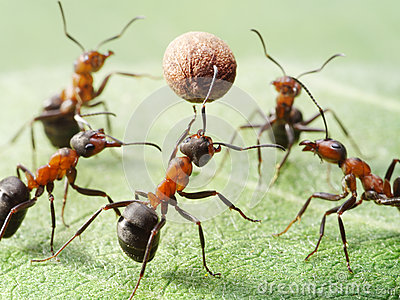 Ants play volleyball with pepper seed