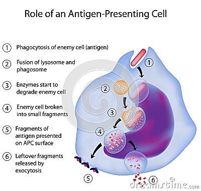 APC in immune reactie