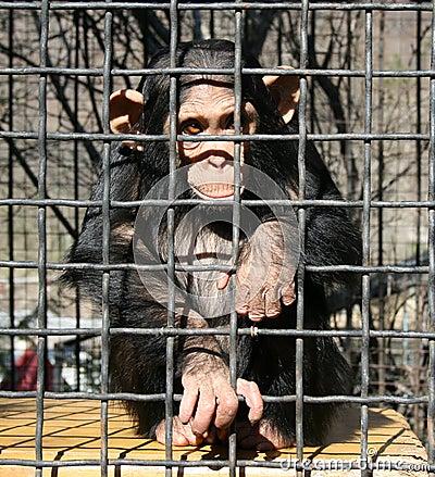 Free Ape Stock Image - 4649771