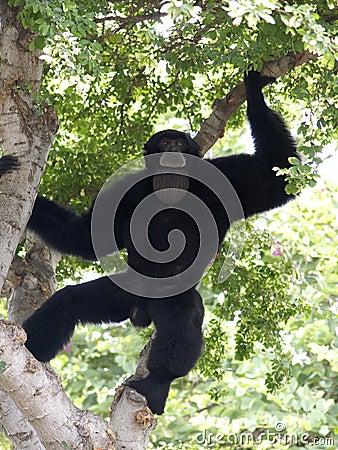 Free Ape Aria Royalty Free Stock Photo - 3313935