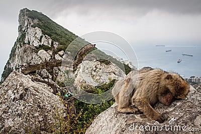 Ape of Gibraltar