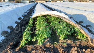 Apertura di una piantagione di cespugli di patate sotto la copertura di un'obbligazione diretta Coltivazione di colture primaveri archivi video