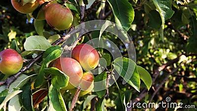 Apfel auf Baum stock video footage