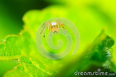 Aphantochilidae