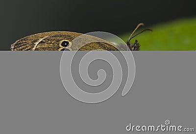 Aphantopus szturmowy hyperantus misumena vatia