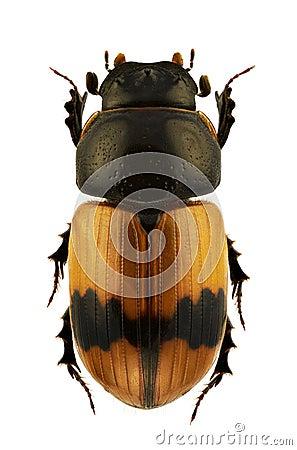 Aphodius coniugatus