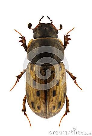 Aphodius conspurcatus
