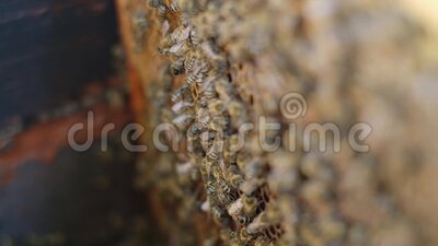 Apicoltore con un favo pieno di api Apicoltori che ispezionano la struttura a nido d'ape all'apiario di stile di vita Concetto di stock footage