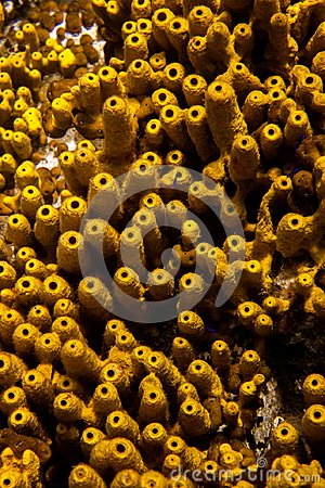 Free Aplysina Aerophoba Yellow Tube Sponge, Close-up, Geometric Shapes And Patterns Stock Photo - 119438220