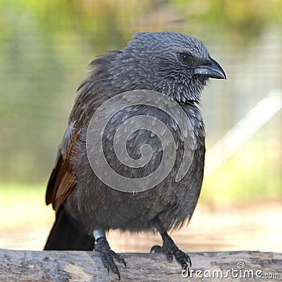 Free Apostle Bird With Attitude Royalty Free Stock Photography - 53849567