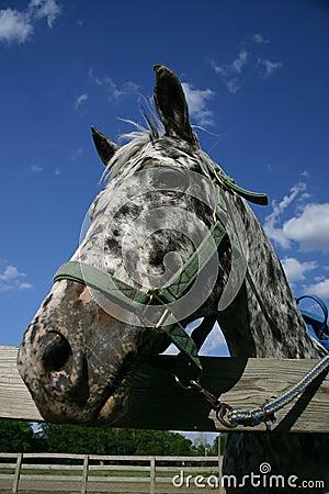 Appaloosa Horse-1