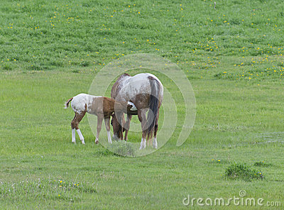 Appaloosa Horse Foal with Mare