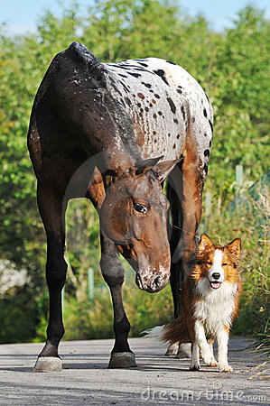 Appaloosa horse and puppy border collie