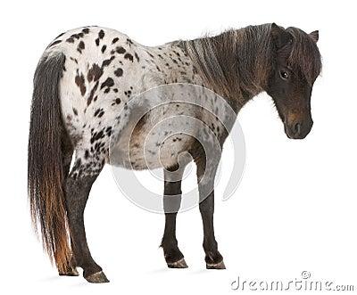Appaloosa Miniature horse, Equus caballus