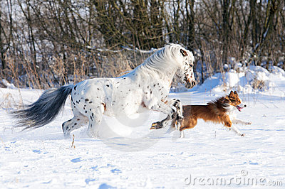 Appaloosa pony and border collie in winter