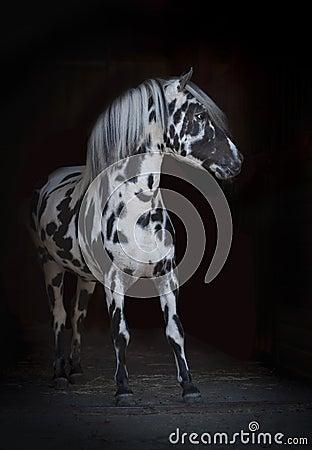 Free Appaloosa Pony Stallion Stock Photos - 43781463