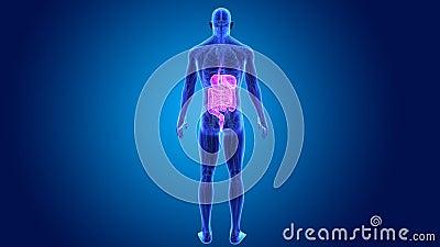 Appareil digestif avec l'anatomie clips vidéos