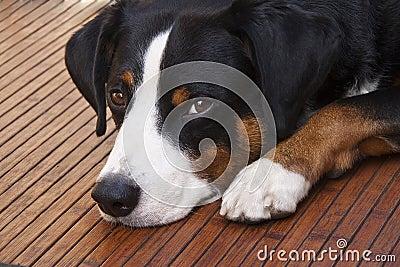 Appenzeller dog lying down