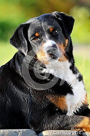 Appenzeller sennenhund dog portrait in summer